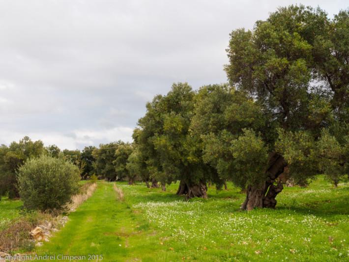Parcul Național cu măslini seculari- Puglia