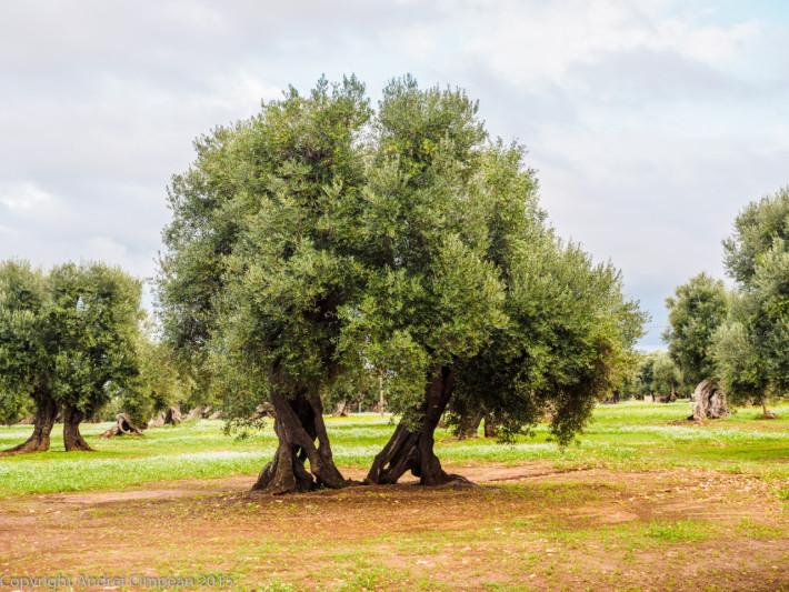 Parcul Național cu măslini seculari